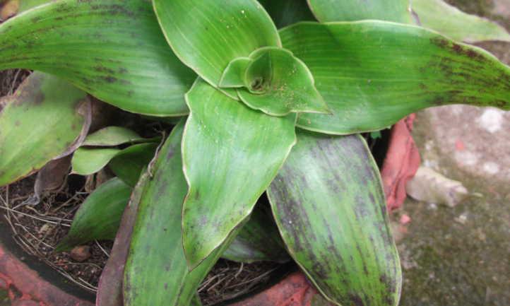 Purple tinged callisia leaves