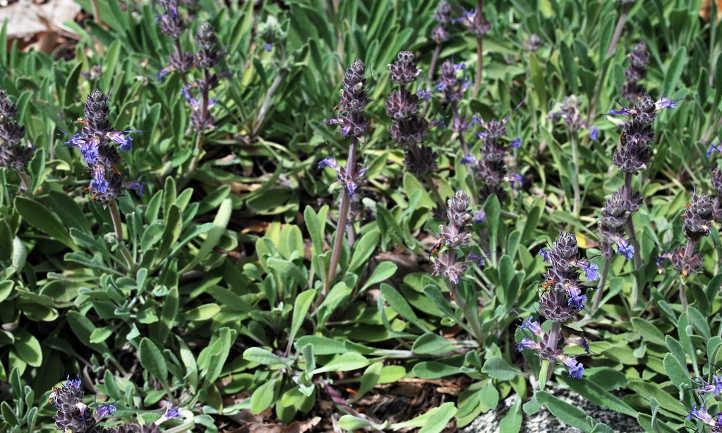 Salvia sonomensis