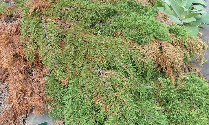 Siberian cypress turning green in spring
