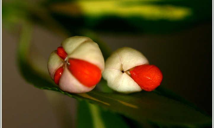 Wintercreeper berries