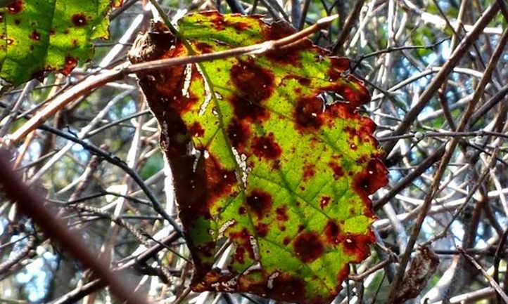 Septoria spp. on blackberry leaf