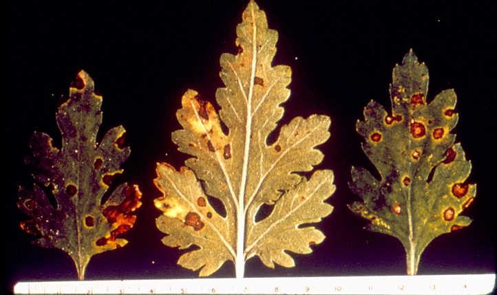 Septoria on chrysanthemum leaf