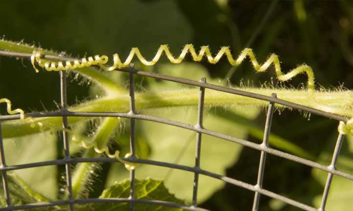 The helix pattern of a cucumber tendril is fascinating to watch develop