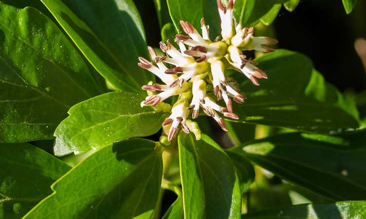 The close-up flower of pachysandra makes it clear why so many choose this as a ground cover