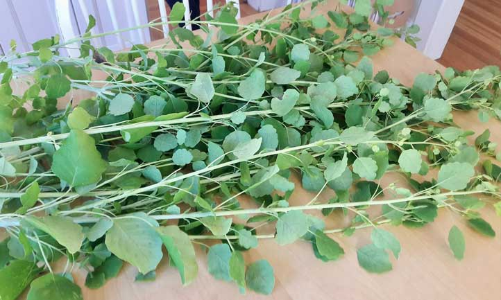Harvesting and storing papalo herb is pretty darn easy