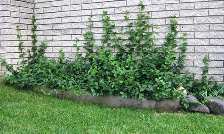 Purple wintercreeper lining a little garden bed cornered against a house