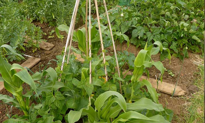 The Three Sisters are the three main agricultural crops of some Native American groups in North America: squash, maize, and climbing beans (typically tepary beans or common beans).