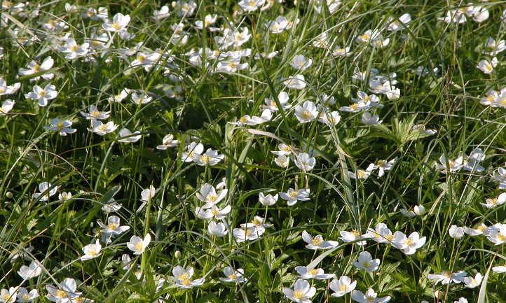 Anemone canadensis aka windflower
