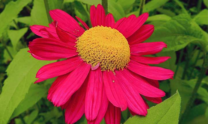 Close-up of a red-petaled painted daisy flower