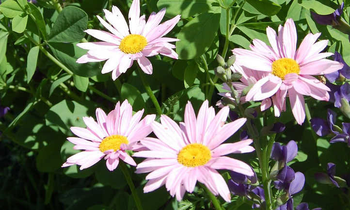 Painted daisy and baptisia flowers