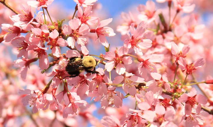 If you want to attract pollinators, prunus okame is a great choice