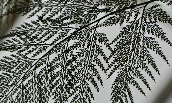 Rabbit's foot fern has a delicate, gorgeous structure when contrasted against the light