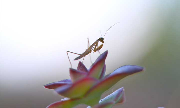 A cute praying mantis hanging out atop the string of buttons