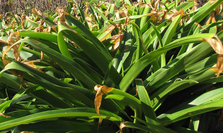 Brown leaf tips