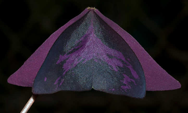 Folded oxalis triangularis leaf