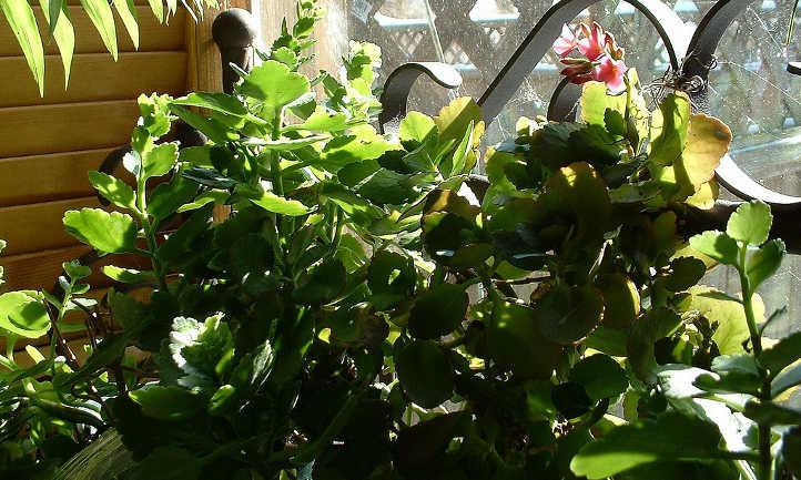 Kalanchoe foliage