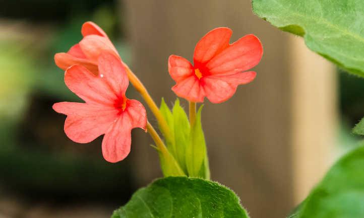 Pink firecracker flower