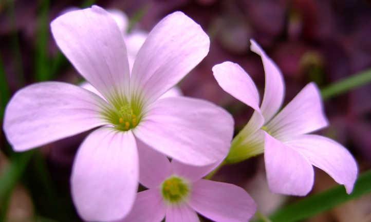 Pink oxalis flowers