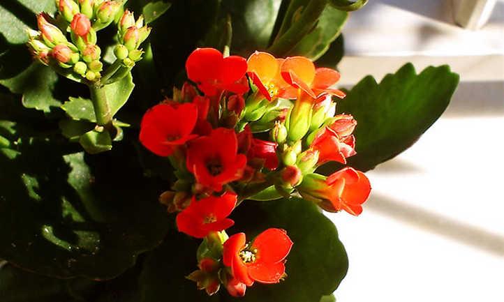 Red florist's kalanchoe