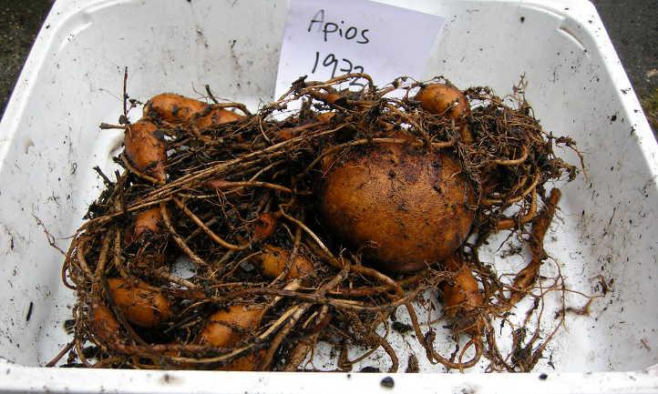 Rhizomatic tubers of groundnut
