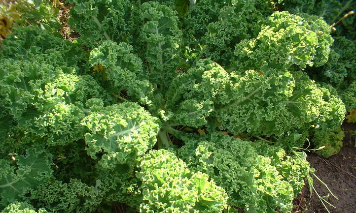 howto pick kale from garden