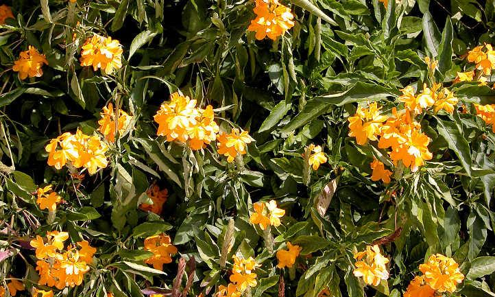 Yellow firecracker flower