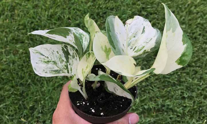 Manjuula has a combination of marble queen and N'Joy coloration