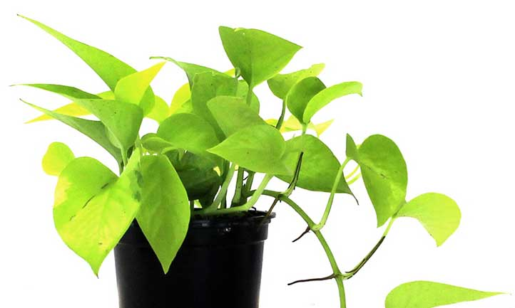 A light, lime-green color across the entire leaf makes neon pothos true to its name