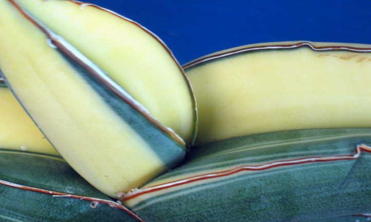 Closeup of variegated sansevieria ehrenbergii