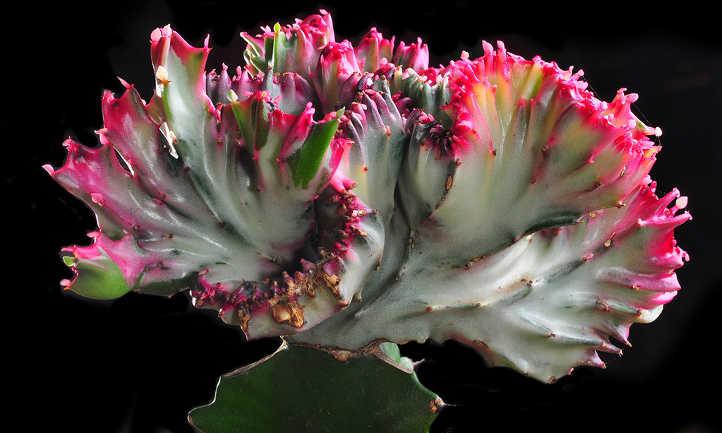 Grafted Euphorbia lactea Cristata crest
