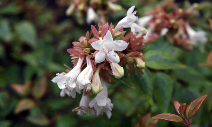 Kaleidoscope abelia flowers