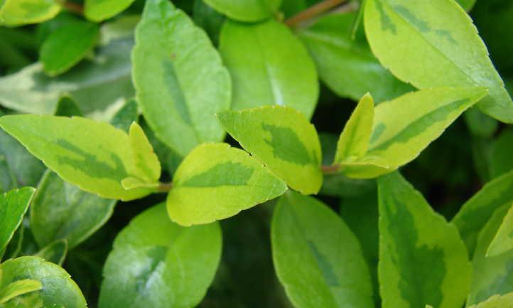 Leaf shape and patterning spring