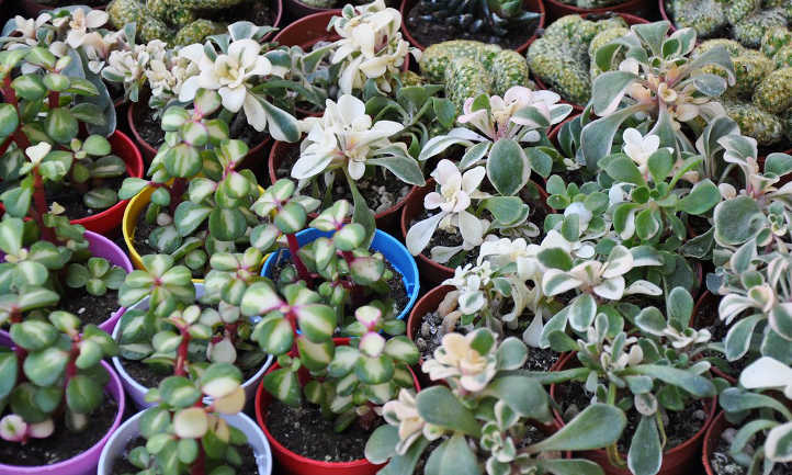 Propagate succulent tips for more plants