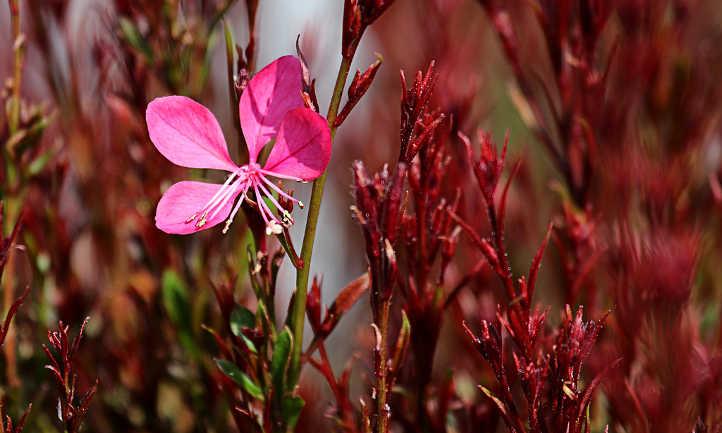 Siskiyou Pink gaura lindheimeri