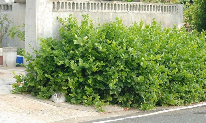 Arabian jasmine plant as shrub