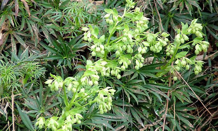 Helleborus foetidus flowers and foliage