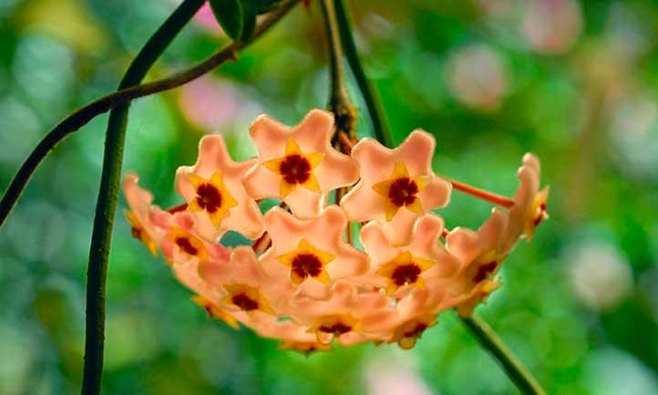 Wax plant flowering