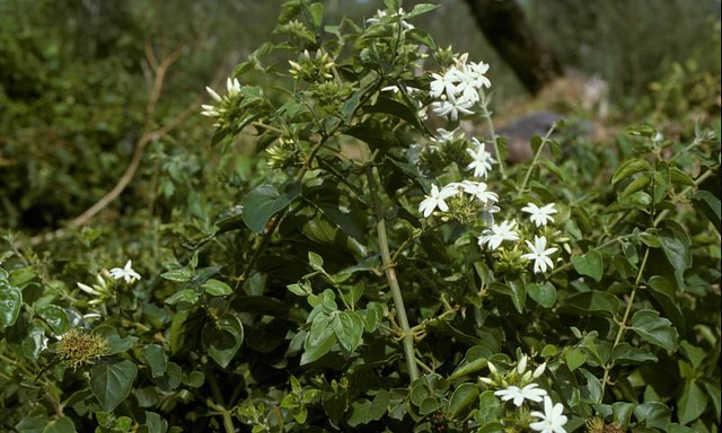 Jasminum sambac vining
