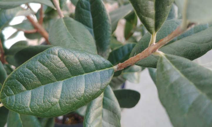 Mature feijoa leaves