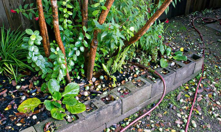 Mature feijoa tree with fallen fruit