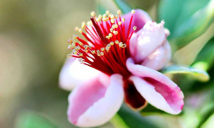Pineapple guava tree flower