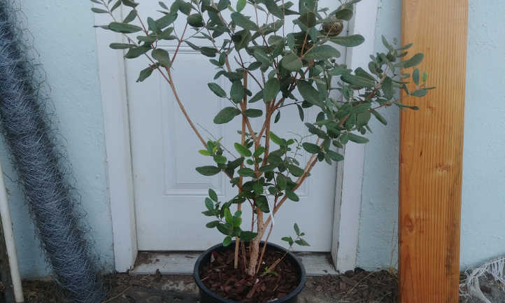 Pineapple guava tree in training