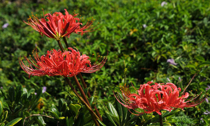 Red spider lily stems