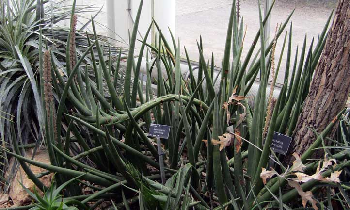The african spears plant in a more natural state.