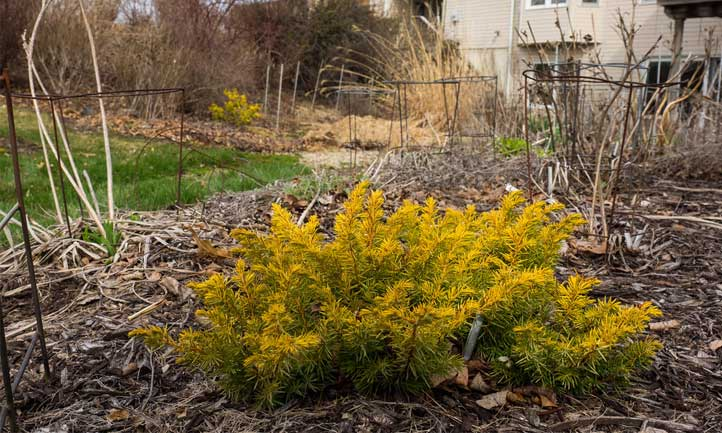 The 'All Gold' variety packs a nice pop of color against a darker mulch