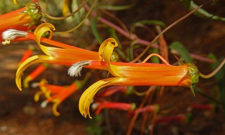 Flower of the Lobelia laxiflora, perfect for hummingbirds