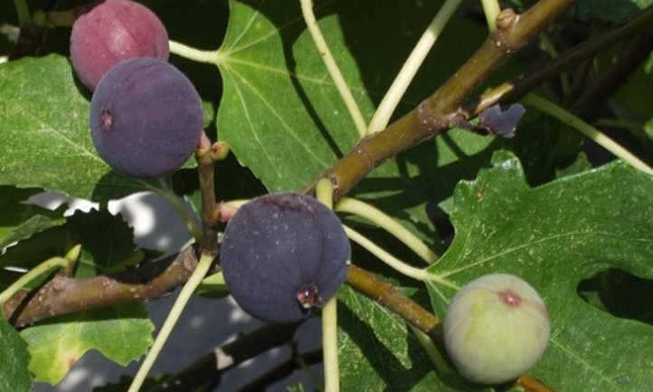 Ripe Chicago hardy figs
