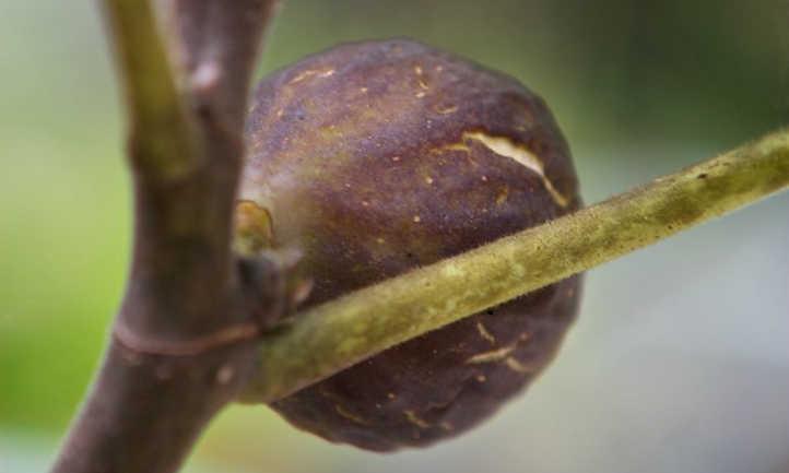 Ripe fig on tree