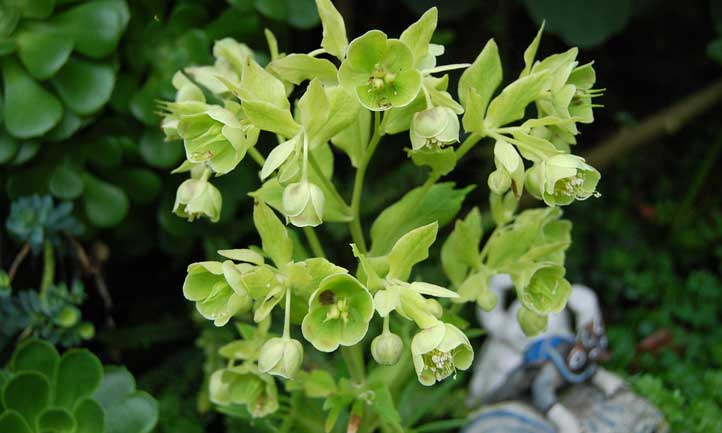 A striking cold-weather bloomer, stinking hellebore is a must-plant in your garden