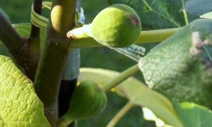 Unripe figs forming